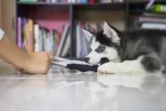 Husky puppy playing a sock Stock Photos