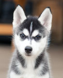 Husky puppy Royalty Free Stock Photography
