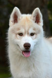 Husky puppy portrait Royalty Free Stock Photography