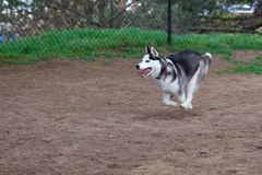 Husky puppy. Running around at a dog park Royalty Free Stock Image