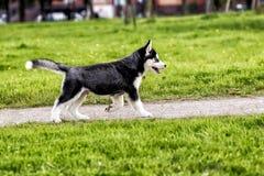 Husky puppy running on the road Stock Photo