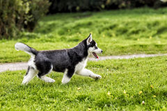 Husky puppy runs along the road Stock Photography