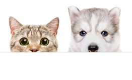Husky puppy and Scottish Straight cat peeking from behind a banner. Isolated on white background Royalty Free Stock Images