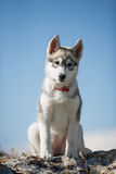 Husky Puppy. Sitting on a rock Stock Photography