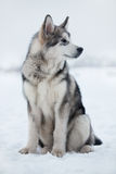 Husky puppy sitting in the snow Stock Photos