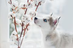 Husky puppy sniffs cotton branches. Symbol of new year 2018 Stock Photos