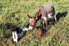 Husky puppy sniffs donkey. On the farm stock photography