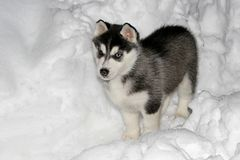 Husky puppy in snow. Young little husky puppy standing in snow, shot with flashlight stock photo
