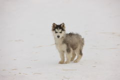 Husky puppy in the snow Stock Image