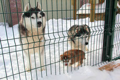 Family Dog Huskies in the aviary. In the back yard royalty free stock images