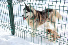Husky dog and her puppy. In a cage outdoors in winter Stock Photos