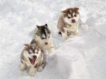 Three Husky Puppy in the Snow. Three Husky puppy with a different temperament sitting in the snow stock photography