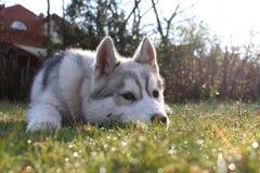 Husky Puppy soñoliento fotografía de archivo