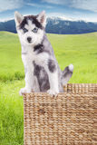 Husky puppy standing on the box at field Royalty Free Stock Images