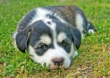Husky puppy. Thoughtful husky puppy lying on the grass Stock Photography
