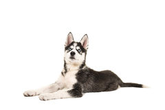 Husky puppy with two blue eyes lying on the floor. Seen from the side looking up isolated on a white background Stock Photography