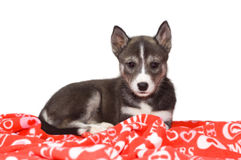 Husky Puppy on a Valentine's Day Blanket. A young black and white husky puppy lays on a red and white Valentine's Day blanket Royalty Free Stock Photography