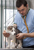 Husky puppy at vet Stock Images
