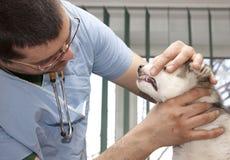 Husky puppy at vet. Vet examining cute siberian husky puppy Stock Image