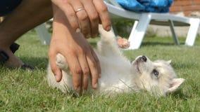 Husky puppy walks near a child on a grass stock footage