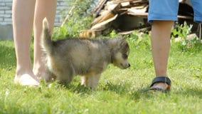 Husky puppy walks near a people legs stock video