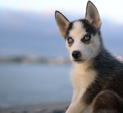 Husky Stock Images