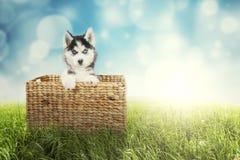 Husky puppy with wicker basket Royalty Free Stock Photo