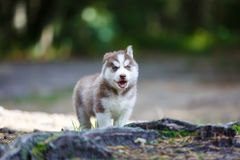 Husky puppy in a forest. Husky puppy in a wild coniferous forest royalty free stock photo