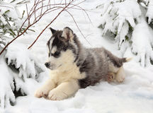 Husky puppy in a winter forest Royalty Free Stock Photos
