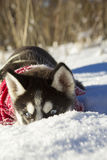 Husky puppy winter Royalty Free Stock Photography