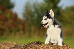 Husky puppy yawns Stock Images