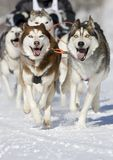 Husky race Stock Image