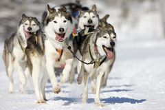 Husky race Stock Photo
