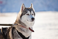 Husky racing portrait. Husky racing dogs on the snow Royalty Free Stock Image
