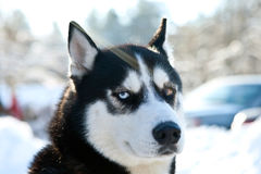 Husky racing portrait. Husky racing dogs on the snow Stock Image