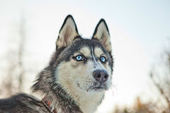 Husky racing portrait. Husky racing dogs on the snow Stock Photo