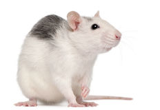 Husky rat, 12 months old Royalty Free Stock Photo