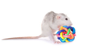 Husky rat with toy Stock Images