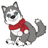 Husky with red scarf sit Stock Photo