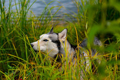 Husky in the reeds by the water Royalty Free Stock Image