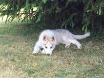 Husky. We rest under the tree Stock Image