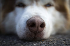 A Husky is resting after a day in the mountain Royalty Free Stock Image