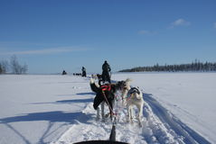 Husky Ride. Several husky selds following the trail in the snow Royalty Free Stock Photo