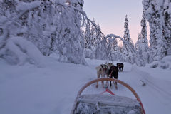 Husky ride at sunset royalty free stock images