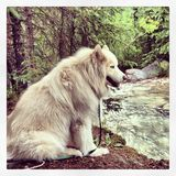 Husky River. Siberian Husky sits by a Mountain Stream Stock Images