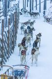 Husky In Rovaniemi Husky Sledding-Hondpark royalty-vrije stock foto