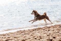 Husky running on the beach Stock Photos