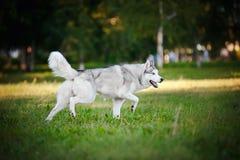 Husky running för gullig hund på gräset Arkivfoton