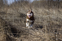 Husky. Running husky in the field Stock Images