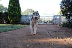 Husky Running In Motion fotos de archivo libres de regalías